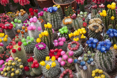 Cactus Flowers, Amsterdam Stock Photography