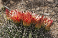 Cactus Flowers on a Barrel Cactus. These beautiful, red flowers ring the top of the spiny barrel cactus. This was found in the Arizona desert royalty free stock photos