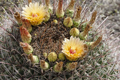 Cactus Flowers on a Barrel Cactus. These beautiful, yellow flowers ring the top of the spiny barrel cactus. This was found in the Arizona desert royalty free stock photo
