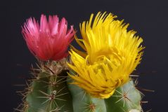 Cactus flowers on black stock image