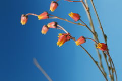 Cactus flowers in bloom close up still on a blue background. Royalty Free Stock Photography