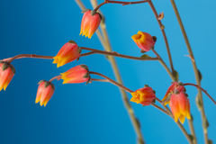 Cactus flowers in bloom close up still on blue background. Royalty Free Stock Photo