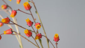 Cactus flowers in bloom close up still on grey background. Stock Photos