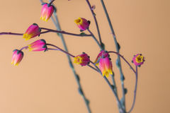 Cactus flowers in bloom close up still on an orange background. Royalty Free Stock Photo