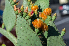 Cactus flowers blooming Royalty Free Stock Photos