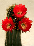 Cactus Flowers. Bright Red Cacti Blossoms In Sunshine With Gray Background Stock Photography