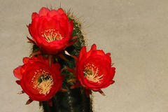 Cactus Flowers Royalty Free Stock Photos