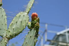 Cactus flowers . stock photo
