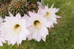 Cactus flowers close-up Stock Photography