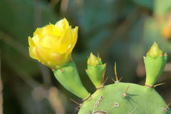 Cactus flowers Stock Images