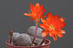 Cactus flowers Royalty Free Stock Images