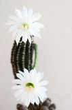 Cactus and flowers Royalty Free Stock Photography
