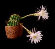 Cactus flowers echinopsis hybrid Stock Images