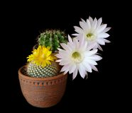 Cactus flowers echinopsis hybrid Royalty Free Stock Photography