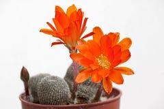 Cactus flowers Stock Photo