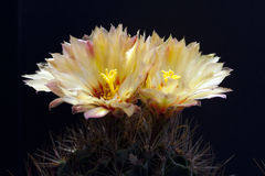 Cactus Flowers In Park Royalty Free Stock Photography
