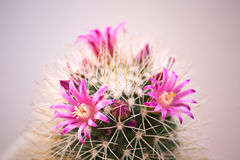 Cactus flowers Stock Photos