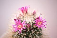 Cactus flowers Stock Photos