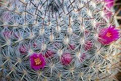 Cactus flowers 1 Stock Photography