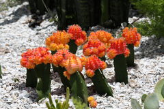 Cactus flowers. A picture of flowering cactus royalty free stock image