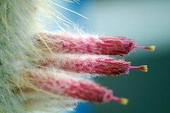 Cactus flowers pink close up macro Stock Photos