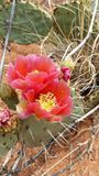 Cactus flowers Royalty Free Stock Photo