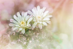 Cactus flowers on tree in soft romantic pink yellow pastel bokeh Royalty Free Stock Image