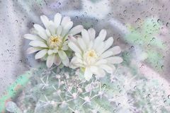 Cactus flowers on tree in water drop on mirror glass. Plate ,Mila or closeup cactus flower sweet background Stock Photos