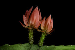 Cactus flowers. Two red cactus flowers on black background Royalty Free Stock Image