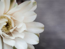 Cactus flowers are white opaque. Placed on a light wood floor. Available space for text input Royalty Free Stock Photos