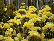Cactus flowers. Yellow cactus flowers too rear picture Royalty Free Stock Photo
