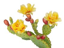 Cactus flowers and young fruit, Indian fig. Isolated on white. Opuntia ficus indica. Cactus flowers and young fruit, Indian fig. Isolated on white background stock photo