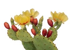 Cactus flowers and young fruit, Indian fig. Isolated on white. Opuntia ficus indica. Cactus flowers and young fruit, Indian fig. Isolated on white background royalty free stock images