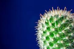 Cactus, fondo azul Imágenes de archivo libres de regalías