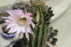 Cactus, fondo, isolato, rosa, verde, bianco, modo, neon, decorazione, progettazione, vaso, luminoso, variopinto, aloe, minimo, na Immagini Stock Libere da Diritti