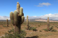 Cactus Forest Royalty Free Stock Images