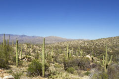 Cactus forest in Saguaro National Park Royalty Free Stock Photography