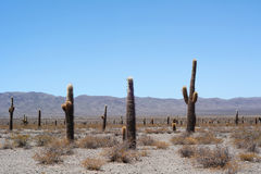 Cactus forest in Salta, Argentina. Stock Image