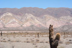 Cactus forest in Salta, Argentina. Royalty Free Stock Photos