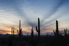 Cactus Forest at Sunset. In Saguaro National Park in Arizona, USA stock photo