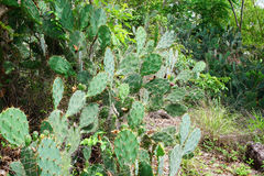 Cactus in the forest Royalty Free Stock Photography