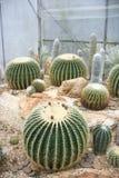 Cactus a forma di rotondo fotografia stock libera da diritti