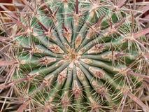 Cactus fortement armé photos libres de droits