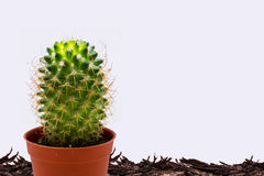 Cactus  fresh & arid. Cactus arid in fresh for advertising design Royalty Free Stock Photography
