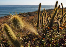 Cactus From Baja California Stock Image