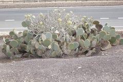 Fauna Kaktus fuerteventura street stock photos