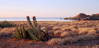 Cactus fructífero en la isla Fotografía de archivo libre de regalías