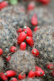 Cactus fruit. Beautiful shot of cactus with red fruit royalty free stock photo
