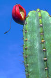 Cactus Fruit. Red fruit sits at the top of a saguaro cactus Stock Image