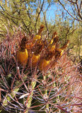 Cactus Fruit. A barrel cactus with fruit royalty free stock images